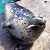 Barney the harbor seal enjoying lunch (Photo: MvB)